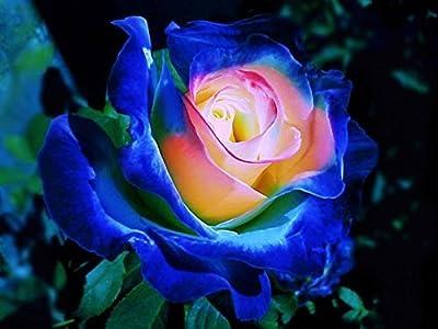 (BPYR Bush747 *Ambizu*) Rare Blue Pink Yellow Rose Bush Flower Seeds, Professional Pack, 50 Seeds / Pack, Light Fragrant Garden Flowers