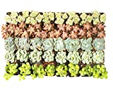 Succulent Assorted Pack- Perfect for Weddings, Party Favors, Home Gardens, and Social Events by Jiimz (36 Pack)