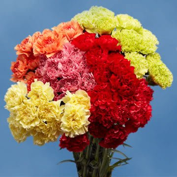 GlobalRose Carnations 200 Assorted Color Carnations Wholesale