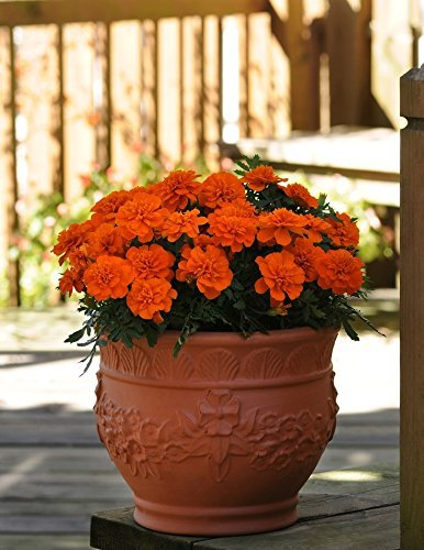 (SVI Rare French Marigold 'Solar red' f1 Hybrid Imported Seeds Plant Seeds Garden [Home Garden Seeds eco Pack] Plant Seeds by)
