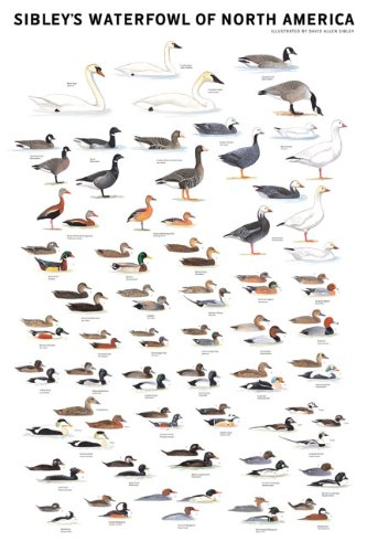 Sibley's Waterfowl of North America ()