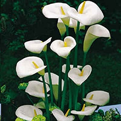 12 Seeds Zantedeschia Aethiopica Calla Lily (House Plant) White Flowers