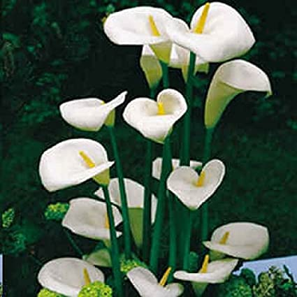 Amazon 12 Seeds Zantedeschia Aethiopica Calla Lily House