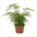 25 Asparagus Fern Seeds Plumosa Lace Fern Review