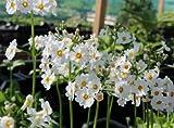 25+ PRIMULA ALBA WHITE - PRIMROSE FLOWER SEEDS / PERENNIAL / HOUSEPLANT / SHADE