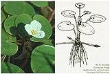 European Frog-bit (Hydrocharis morsus-ranae) garden pond, frost-hardy - Live aquatic plant