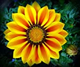 Red Stripe Gazania Seeds Flower Seeds Harvested Fresh in Fall FREE PACK INCLUDED