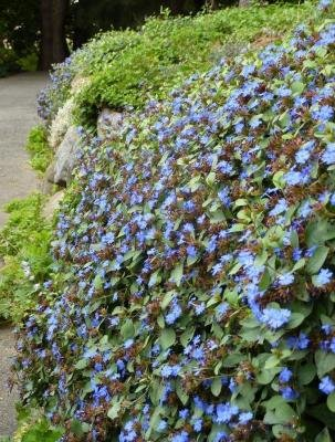 Classy Groundcovers - Dwarf Plumbago, Hardy Blue Plumbago Chinese Leadwort {25 Pots - 3 1/2 in.} by Classy Groundcovers (Image #2)