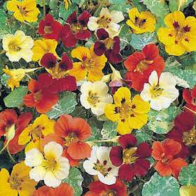 - Organic NASTURTIUM JEWEL OF AFRICA MIX flowers to eat 10 seeds