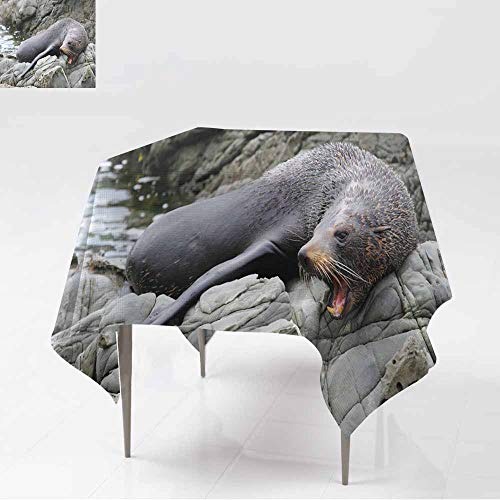 AFGG Square Table Cloth,Big New Zealand Fur Seal Showing its Teeth Kaikoura,Great for Buffet Table, Parties& More,60x60 Inch