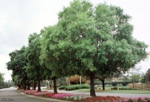 (Laurel Oak Tree (30 seeds) fresh this season's harvest)