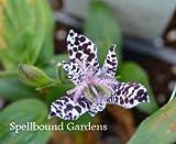 Tricyrtis formosana 'Samurai' Toadlily Live Plant