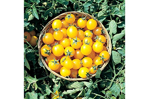 David's Garden Seeds Tomato Cherry Gold Nugget ZA7338 (Gold) 50 Non-GMO, Organic Seeds