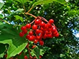 GUELDER ROSE Water elder - 50 seeds bonsai - Viburnum opulus
