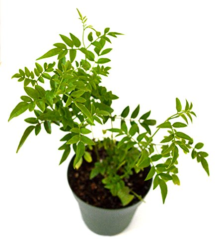 Jasmine houseplant for bedroom