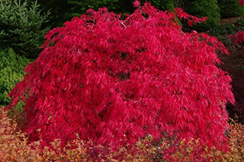 (SCARLET PRINCESS DWARF JAPANESE MAPLE - A NEW RED VARIETY - Acer palmatum 'Scarlet Princess' - 1 - YEAR TREE)