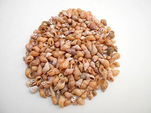 (1/2 lb (1000+) Beautiful Tiny Peach Melissa Mini Shells Seashells (1/4