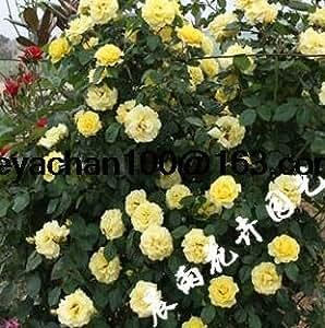 Venus rose garden climbing Climbing 100 flower seeds