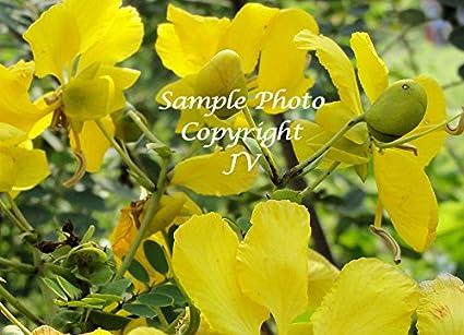 Amazon cassia auriculata avaram senna bright yellow flowers cassia auriculata avaram senna bright yellow flowers attracts butterflies 10 seeds mightylinksfo
