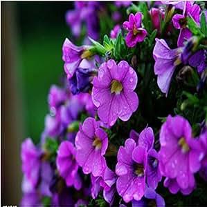 New Sales 50 Grain/Bag Low Petunia Seeds mixing Low Petunia flower Organic Garden Plant Garden Supplies Bonsai