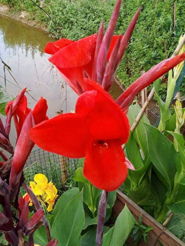 (Red Cannas Lily Bulbs -2 Bulbs-Bloom Charming Fresh Green Foliage Flowers Bonsai Outdoor Garden Decoration Attracts Butterflies)