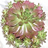 40pcs Sempervivum Tectorum Seeds Succulent Plants Potting
