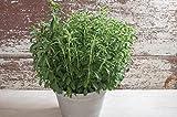 David's Garden Seeds Herb Stevia SL7733 (Green) 25 Non-GMO, Heirloom, Organic Seeds