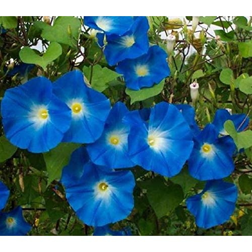 Cheap Heavenly Blue Morning Glory Seeds, 1 oz, 900+ Seeds for cheap