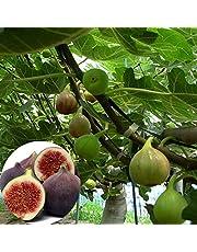 20/50pcs Semillas Frutales Arboles Higuera con Frutos Higo, Resistente a las Sequías, Semillas Ficus Carica para Jardin Patio