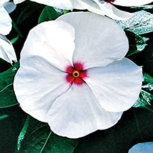 Vinca Peppermint Cooler Seed Annual Low Water Needs Reseeds - Catharanthus