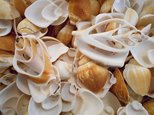 1/2 lb Multi Cut Canarium Shells Seashells Beach Cottage Wedding Decor Crafts Cut Seashells Crafts