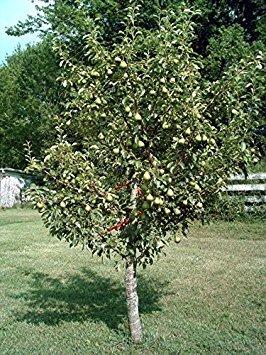 25 Dwarf Bartlett Pear Seeds (Pyrus Communis)