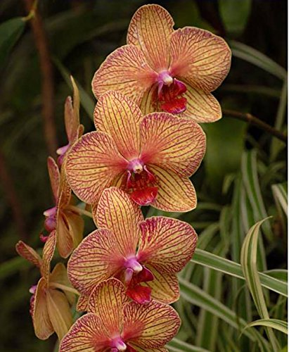 The Best Seller 100 seeds Perennial Phalaenopsis Orchid Flower Seeds ,Rare Butterfly Orchid (Basil Hydrangea Planter)