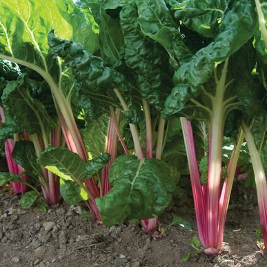 David's Garden Seeds Swiss Chard Peppermint D3066O (Multi Colors) 500 Open Pollinated Seeds