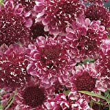 25+ Beaujolais Bonnets Scabiosa / Pincushion Flower Seeds / Perennial