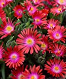 "30+ DELOSPERMA CARMINE RED FLOWER SEEDS / ICE PLANT / HEAT & COLD HARDY 4"" HIGH"