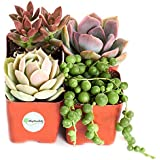 "Good Juju Succulent Collection (Four Pack of 2"" Succulents) Plus Free Gift by Shop Succulents"
