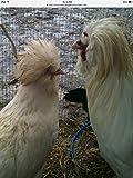 6 Fertile Hatching Chicken Eggs
