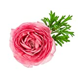 Pink French Peony Ranunculus - 12 Largest Size Corms