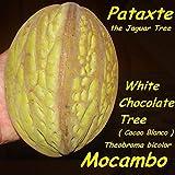 ~MACOMBO~ Theobroma bicolor WHITE CACAO TREE the JAGUAR TREE LIVE RARE PLANT
