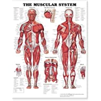"The Muscular System Giant Chart Laminated: 42"" x 62"" chart"