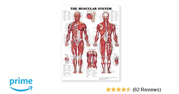 The Muscular System Giant Chart 9781587799815 Medicine Health