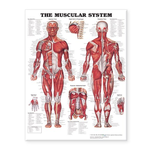 The Muscular System Giant - Laminated System