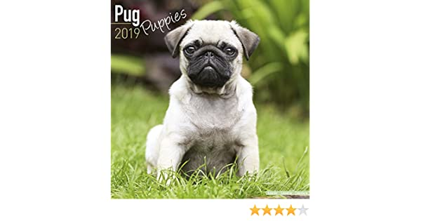Pug Puppies Calendar 2019: Amazon.es: Avonside Publishing Ltd: Libros en  idiomas extranjeros
