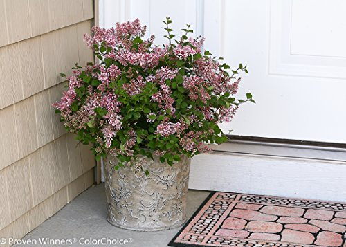 Proven Winners - Syringa x Bloomerang 'Pink Perfume' (Reblooming Lilac) Shrub, pink flowers, #2 - Size Container by Green Promise Farms (Image #2)