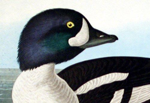 Golden-eye Duck.