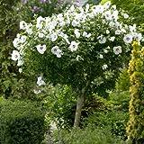 White Rose of Sharon Tree