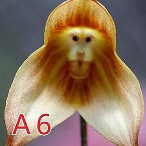 50PCS/Lot Rare Monkey Face Orchid Flower Seeds Senior Phalaenopsis Plant Bonsai Home Garden Supplies