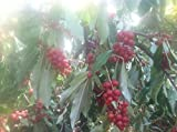 10 Autumn Olive plants, hardy perennial bulk listing