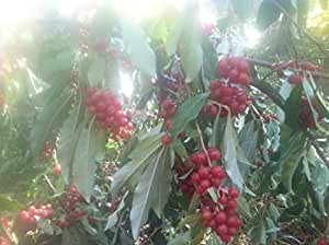 Autumn Olive japanese silverberry autumn berry hardy perennial starter plant